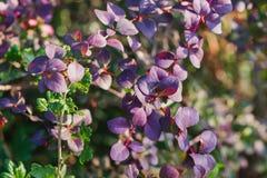 Planta del bérbero con las hojas rojas y de la púrpura brillantes Imagenes de archivo