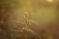 Planta del cáñamo (marijuana) Imagen de archivo libre de regalías