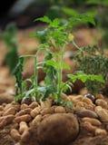 Planta del cacahuete Fotografía de archivo