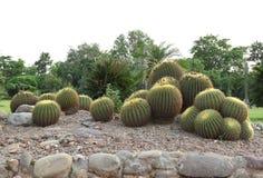Planta del cactus Fotos de archivo libres de regalías