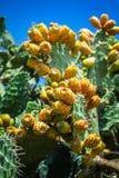 Planta del cactus del higo chumbo (Opuntia ficus-indica) Imágenes de archivo libres de regalías