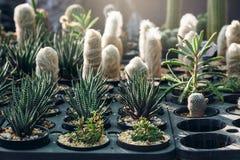planta del cactus en los sunries Foto de archivo