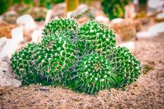 Planta del cactus en suelo arenoso Fotos de archivo