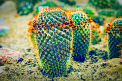 Planta del cactus en suelo santy en el invernadero Imagen de archivo libre de regalías