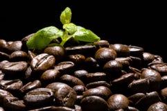 Planta del café Foto de archivo libre de regalías