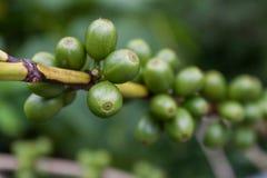 Planta del café con las frutas Foto de archivo