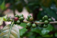 Planta del café con las frutas Fotos de archivo