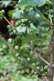 Planta del café con las frutas Fotografía de archivo