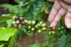 Planta del café con las frutas y la mano del jardinero Imágenes de archivo libres de regalías