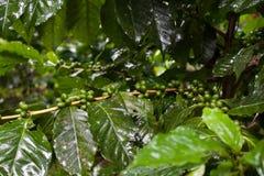 Planta del café en la alta montaña de Tailandia septentrional Imágenes de archivo libres de regalías