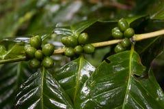 Planta del café en la alta montaña de Tailandia septentrional Imagenes de archivo