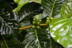 Planta del café en la alta montaña de Tailandia septentrional Imagen de archivo libre de regalías