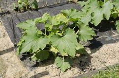 Planta del calabacín Fotos de archivo