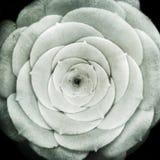 Planta del canariense del Aeonium con textura Imagen de archivo libre de regalías