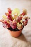Planta del carnívoro del sarracenia fotos de archivo