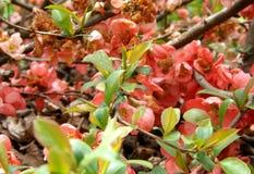 Planta del Chaenomeles Imagen de archivo libre de regalías