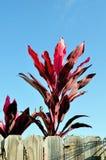 Planta del Cordyline Foto de archivo libre de regalías