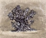 Planta del Crassula que dibuja a mano Imagen de archivo libre de regalías