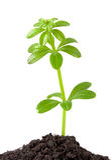Planta del crecimiento Imagen de archivo