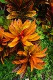 Planta del Croton Fotos de archivo