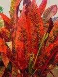 Planta del Croton Imágenes de archivo libres de regalías