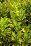 Planta del Croton Kenia, África Foto de archivo libre de regalías