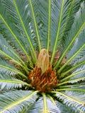 Planta del Cycad (cycas) Imagen de archivo libre de regalías