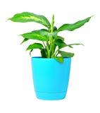 Planta del Dieffenbachia en crisol fotografía de archivo libre de regalías