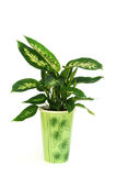 Planta del Dieffenbachia en el crisol aislado en blanco Foto de archivo