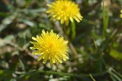 Planta del diente de león con su flor amarilla Imagenes de archivo