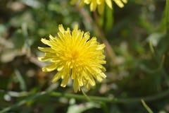 Planta del diente de león con su flor amarilla Imágenes de archivo libres de regalías
