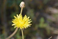 Planta del diente de león con su flor amarilla Fotos de archivo libres de regalías