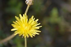 Planta del diente de león con su flor amarilla Imagen de archivo
