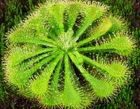 Planta del Drosera Fotografía de archivo
