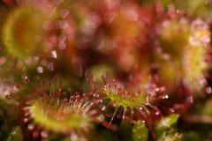 Planta del Drosera de la drosera Fotografía de archivo libre de regalías