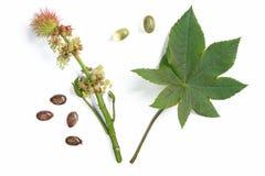 Planta del echador - Ricinus communis foto de archivo libre de regalías
