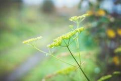 Planta del eneldo en el jardín del otoño Imágenes de archivo libres de regalías
