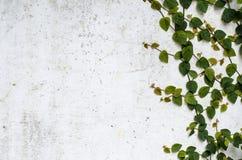 Planta del escalador en el muro de cemento Imagenes de archivo