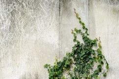 Planta del escalador en el muro de cemento foto de archivo