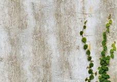 Planta del escalador en el muro de cemento Imagen de archivo libre de regalías