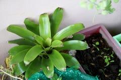 Planta del fasciata de Aechmea fotografía de archivo