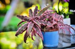 Planta del fasciata de Aechmea Imagen de archivo libre de regalías