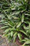 Planta del fasciata de Aechmea Imagen de archivo