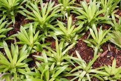 Planta del fasciata de Aechmea Fotos de archivo