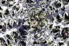 Planta del fractal Fotografía de archivo