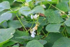Planta del Frijol o de haba del blac Foto de archivo