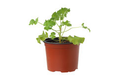 Planta del geranio en un pote. Imagen de archivo