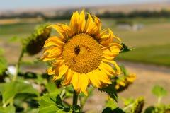 Planta del girasol con la abeja Imágenes de archivo libres de regalías