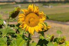Planta del girasol con la abeja Fotografía de archivo