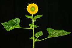 Planta del girasol con la flor y las hojas fotografía de archivo